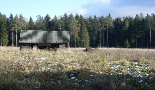 Зубры в поле возле сарайчика, Токсово, трасса Р33