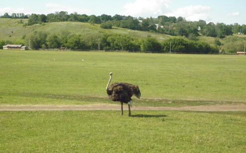 страус, кудыкина гора, трасса дон