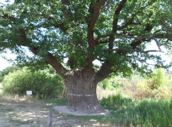 400 летний дуб