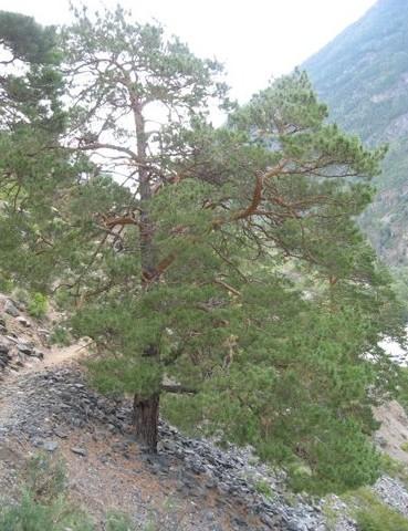 сосна на склоне горы