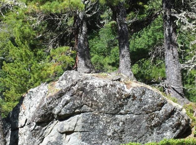 Три сосны, растущие из камня