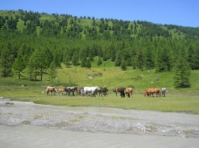 алтай кони пасутся