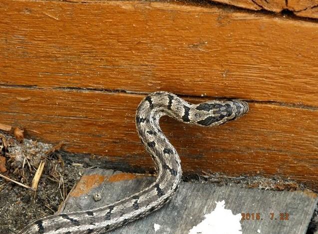 змея охотится на птенца умхей