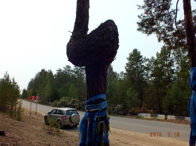Поездка в баргузинскую долину кривое дерево