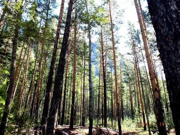 стройный лес курорт алла