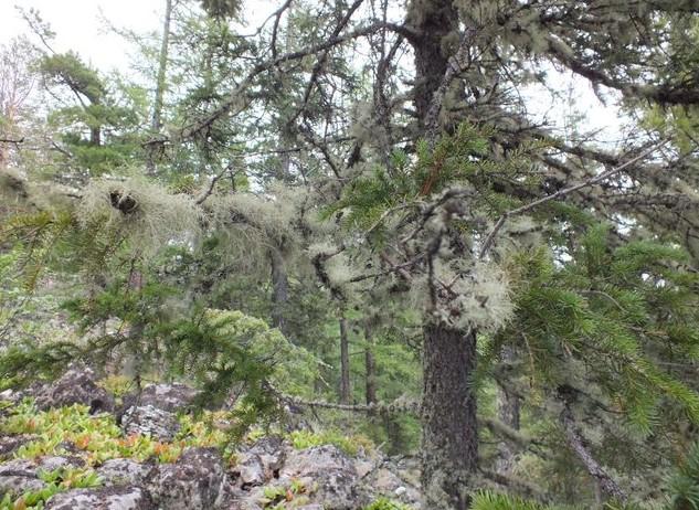 Путешествие на Аршан заросшее дерево мхом