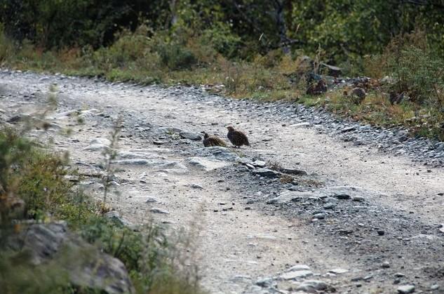 фазаны на дороге алтай