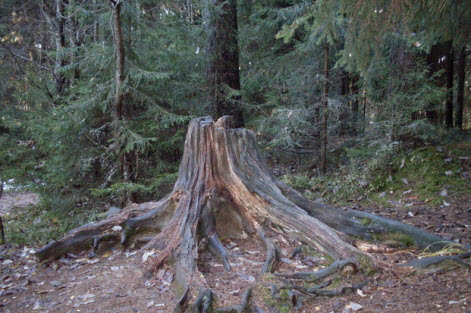 Большой пень на главной аллее Токсовского лесопарка, трасса Р33