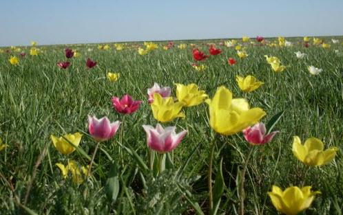 Весенние тюльпаны возле Палласовки, трасса Р226