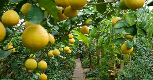 Лимоны, лимонарий, трасса Р228