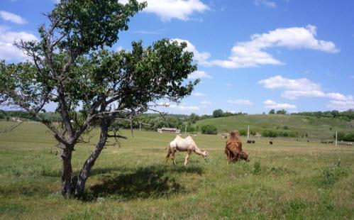 верблюды, кудыкина гора, трасса м4