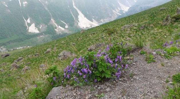 горные цветы