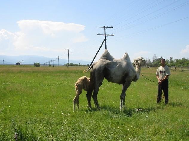 жемчуг верблюд