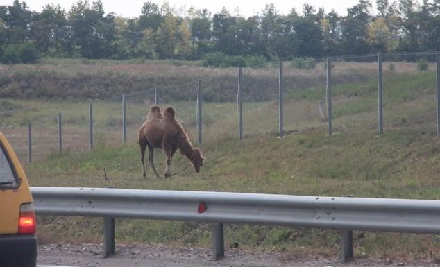 верблюд на м-4