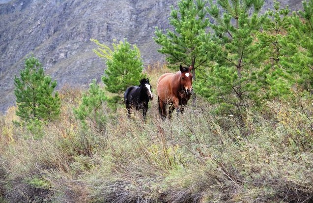 лошадки на алтае