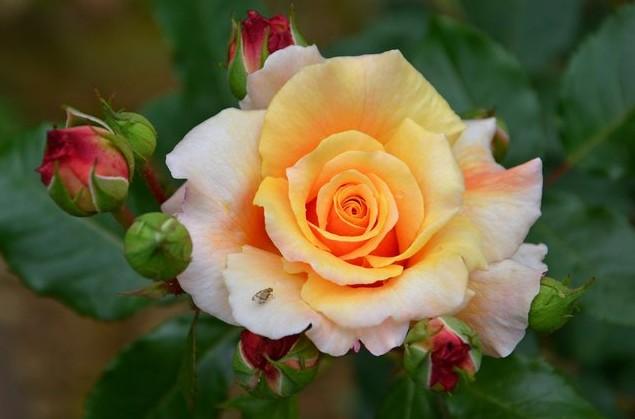 ботанический сад роза