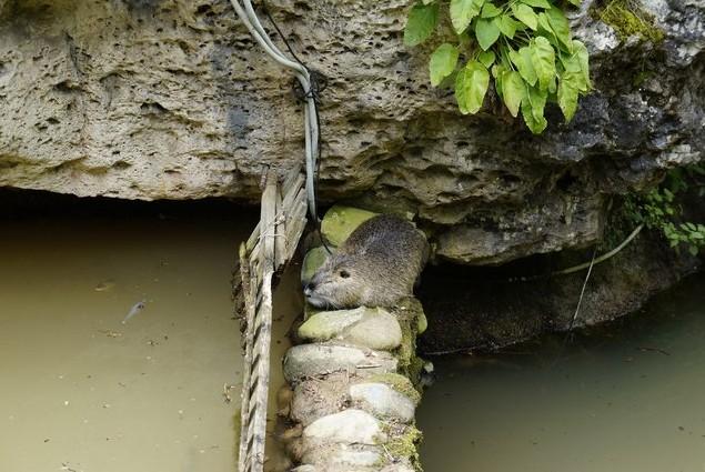 водяная крыса возле речки